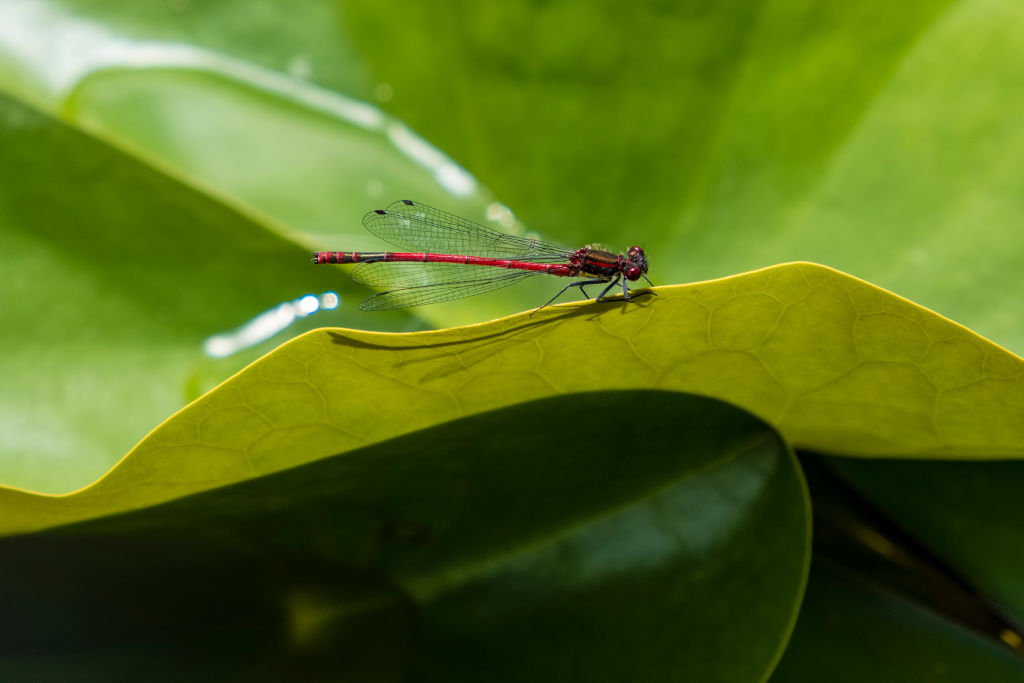 A red dragonfly rests on a leaf.