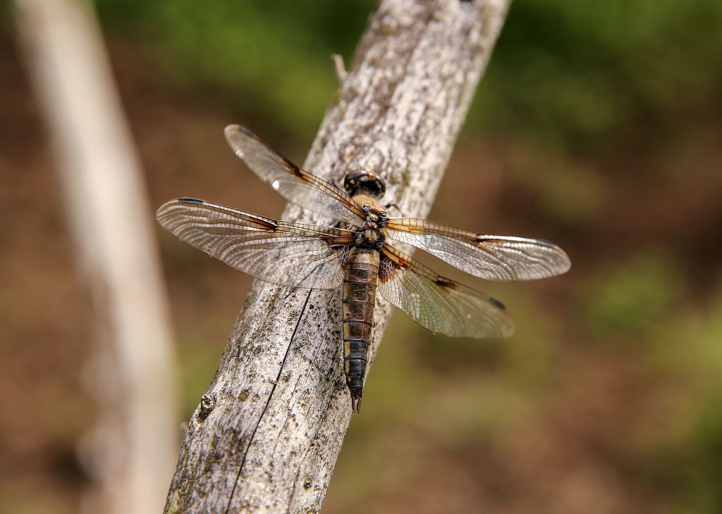 A brown dragonfly lies on a thin, wooden branch.