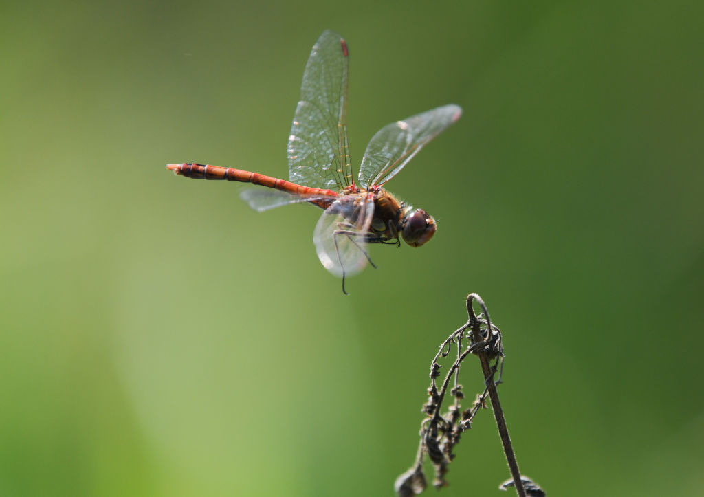 A dragonfly approaches a plant while flying in the air.