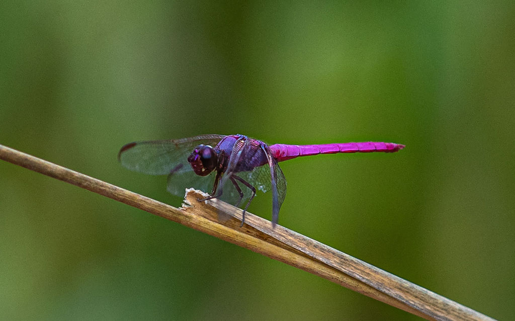 A purple dragonfly perches on a suspended tig.
