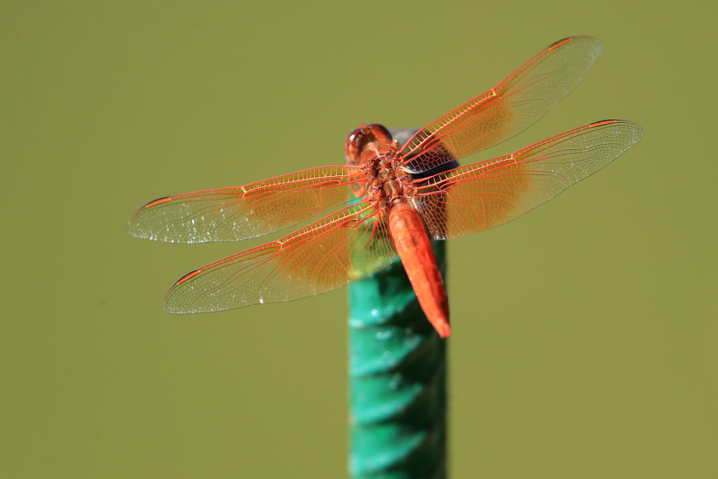 An orange dragonfly opens its wings while perching on a green object.