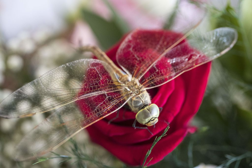 A dragonfly rests on a rose.