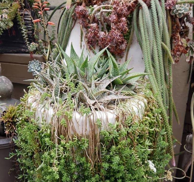 A toilet is bursting with various succulents.