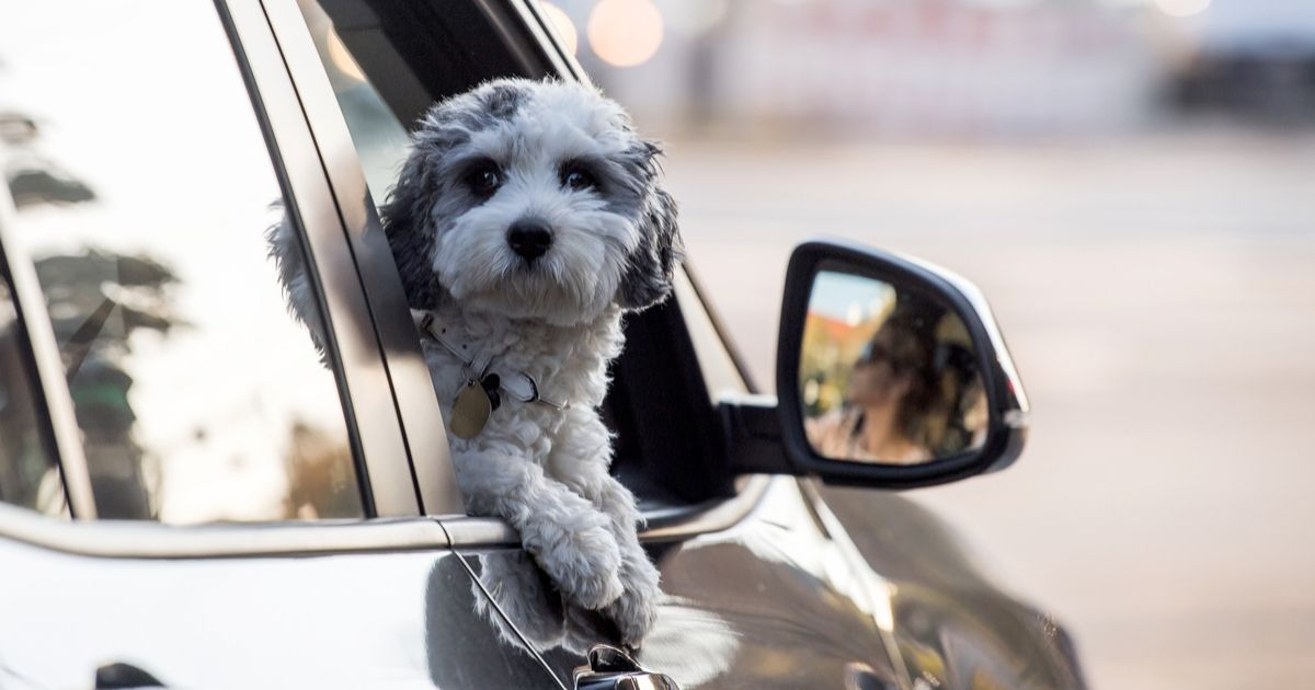 A dog looks at a traffic light from the open passenger window of a car.