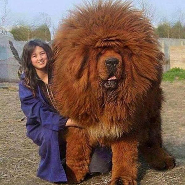 big-fluffy-dog