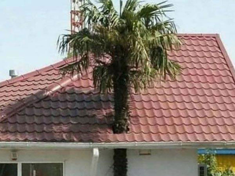 A palm tree has grown straight through the roof of a house.