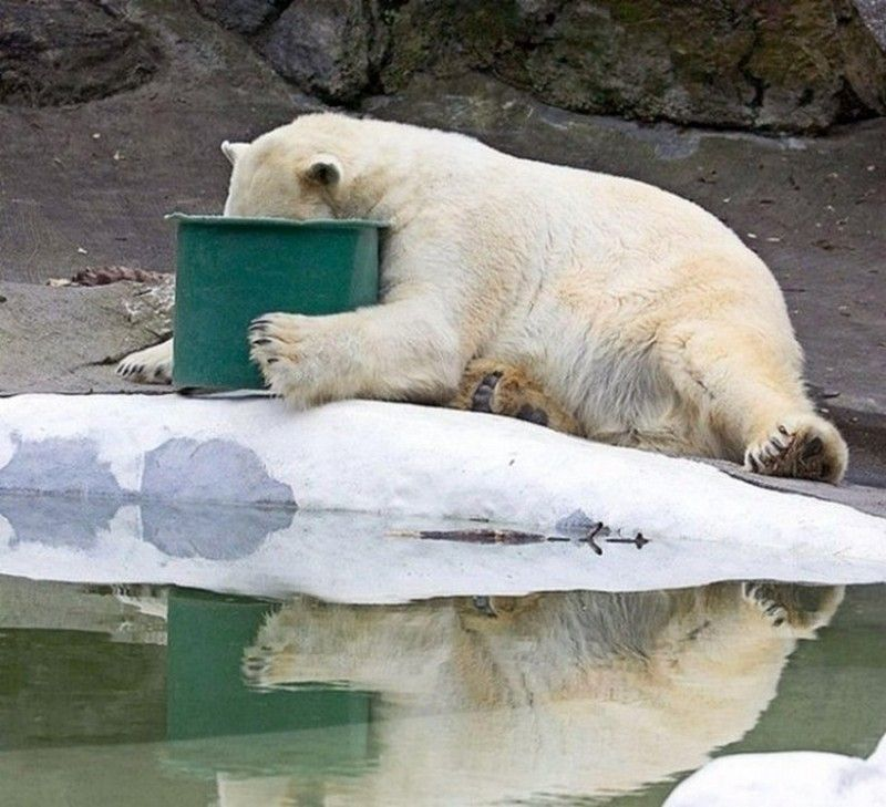 This Polar Bear Doesn't Do Table Manners