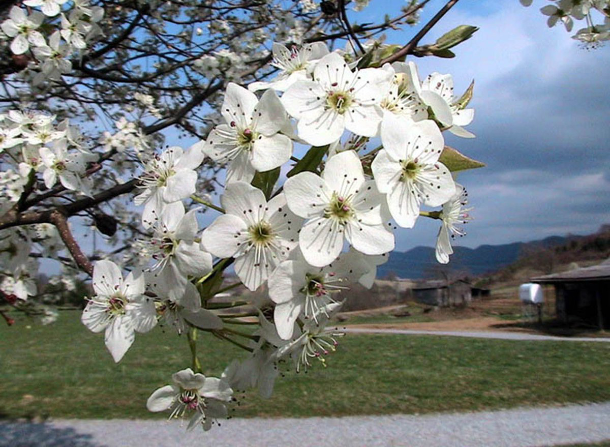 Bradford pear tree sprouts white flowers.