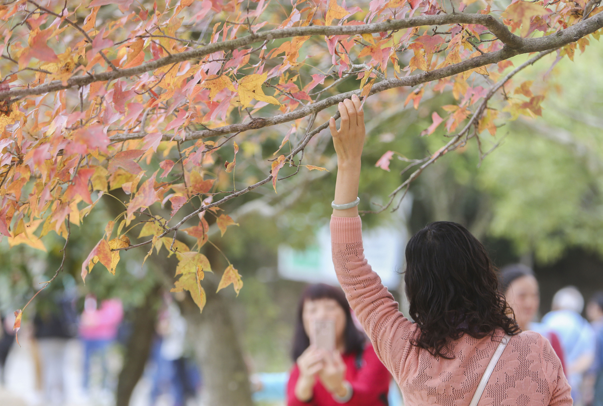 Woman reaches up to touch a sweet gum tree.