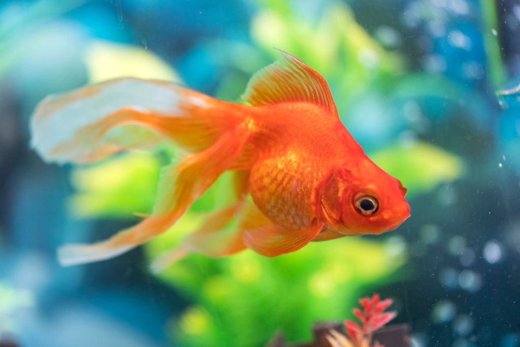 Goldfish Have A Three Second Memory
