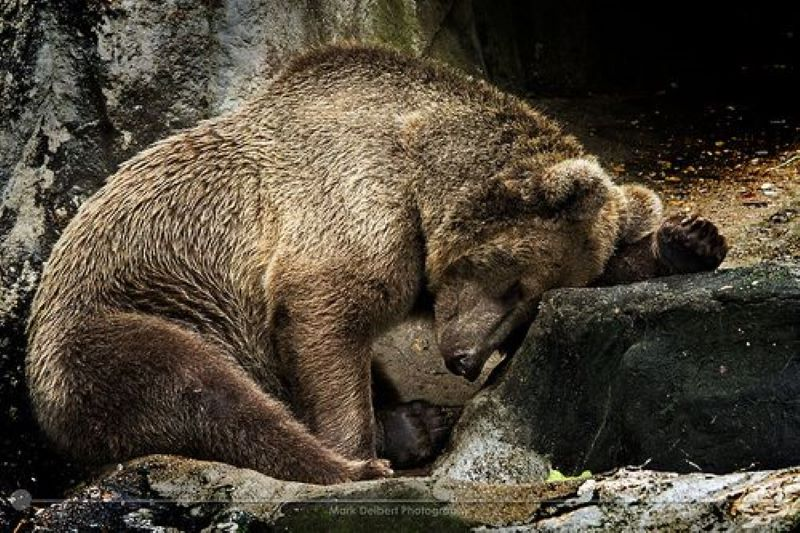 This Grizzly Bear Need Is Done For The Day