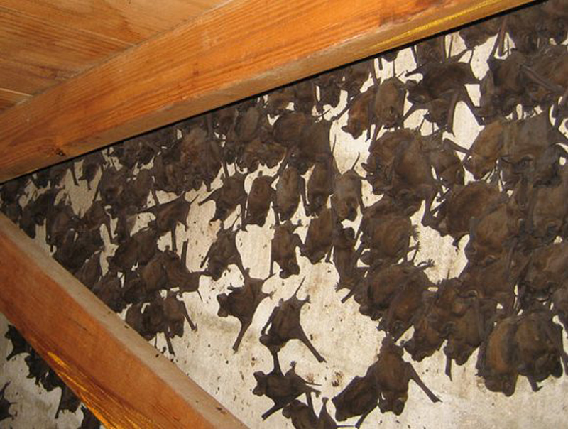 bats in an attic