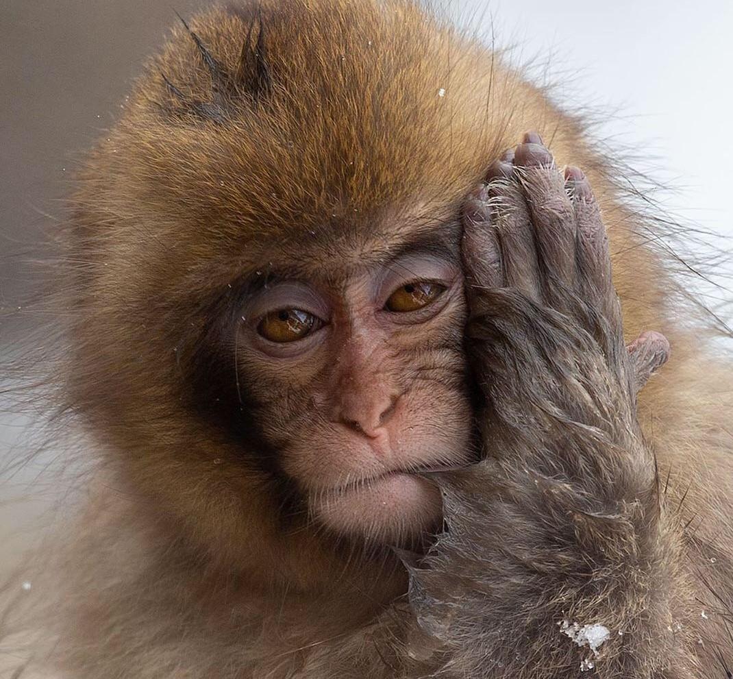 """Mogens Trolle on Instagram_ """"Snow monkey hangover_"""""""
