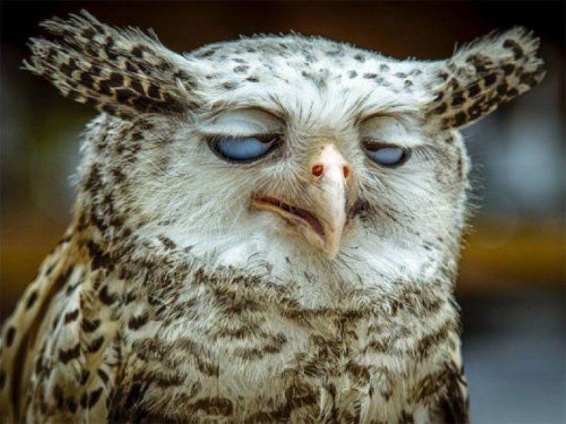 Owl having bad day
