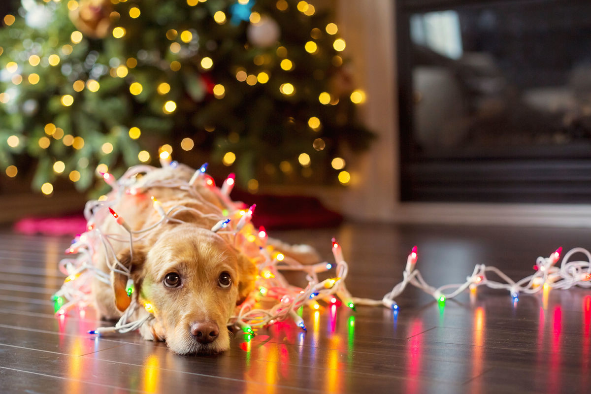 dog wearing lights