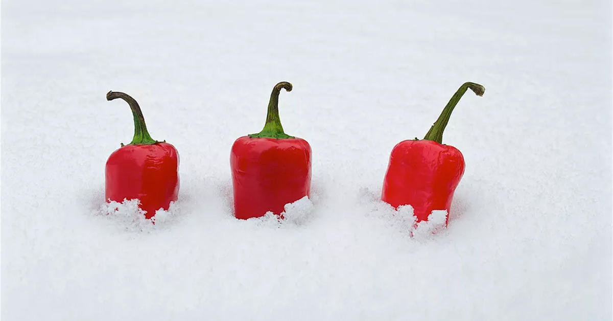 three chili peppers halfway buried under the snow