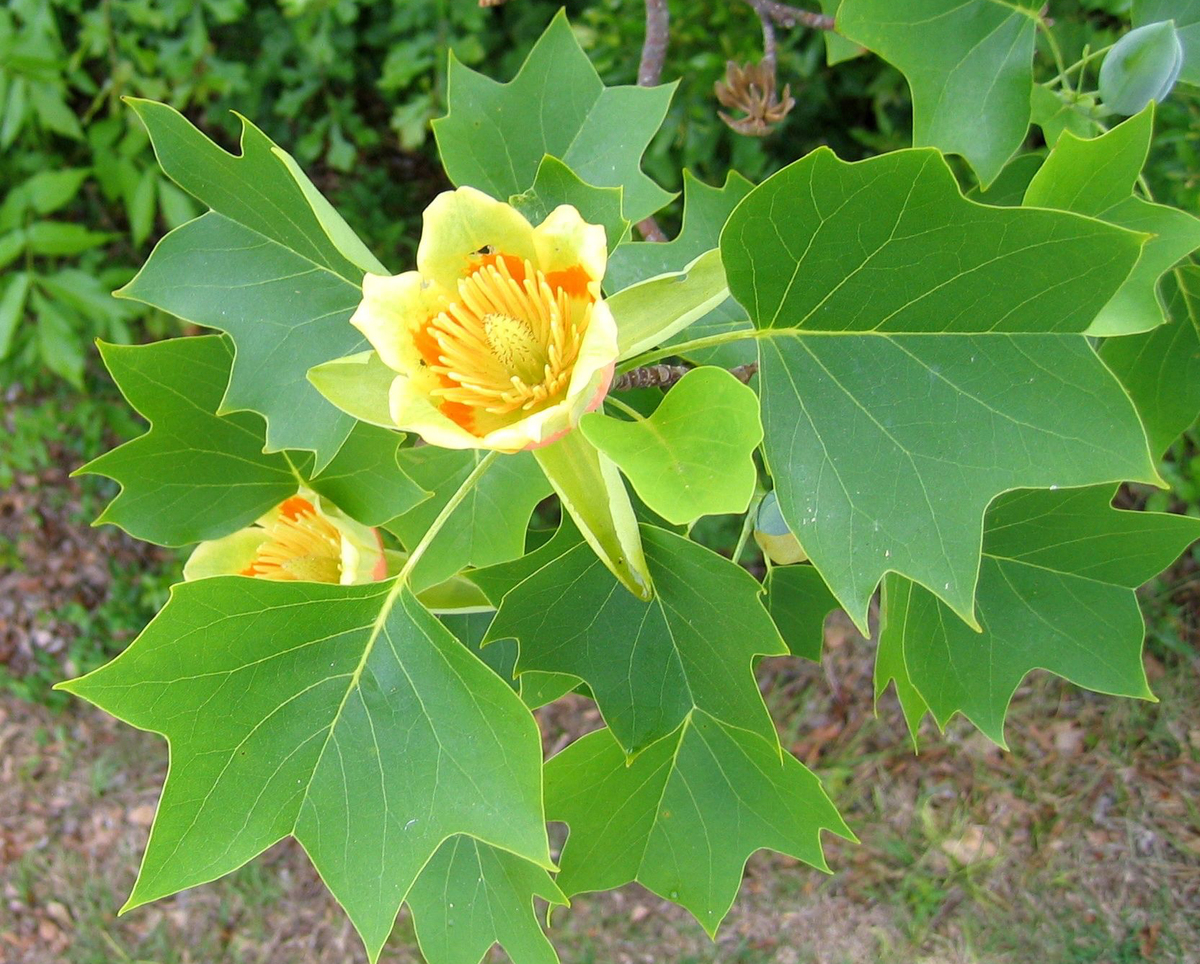 A tulip blooms on the branch of a tulip poplar.