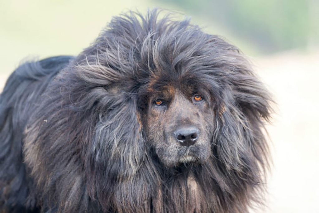 Dog with a mane