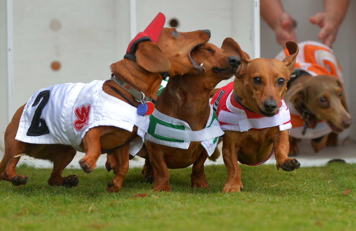 A dachshund bites at a competitor during a race.