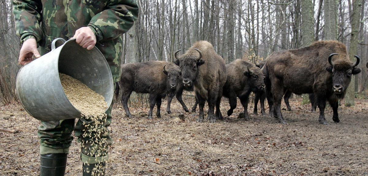 bison chernobyl worker feeding bison