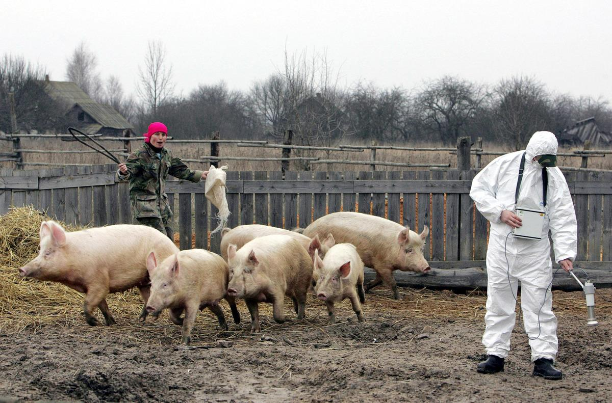 farm chernobyl pigs running around