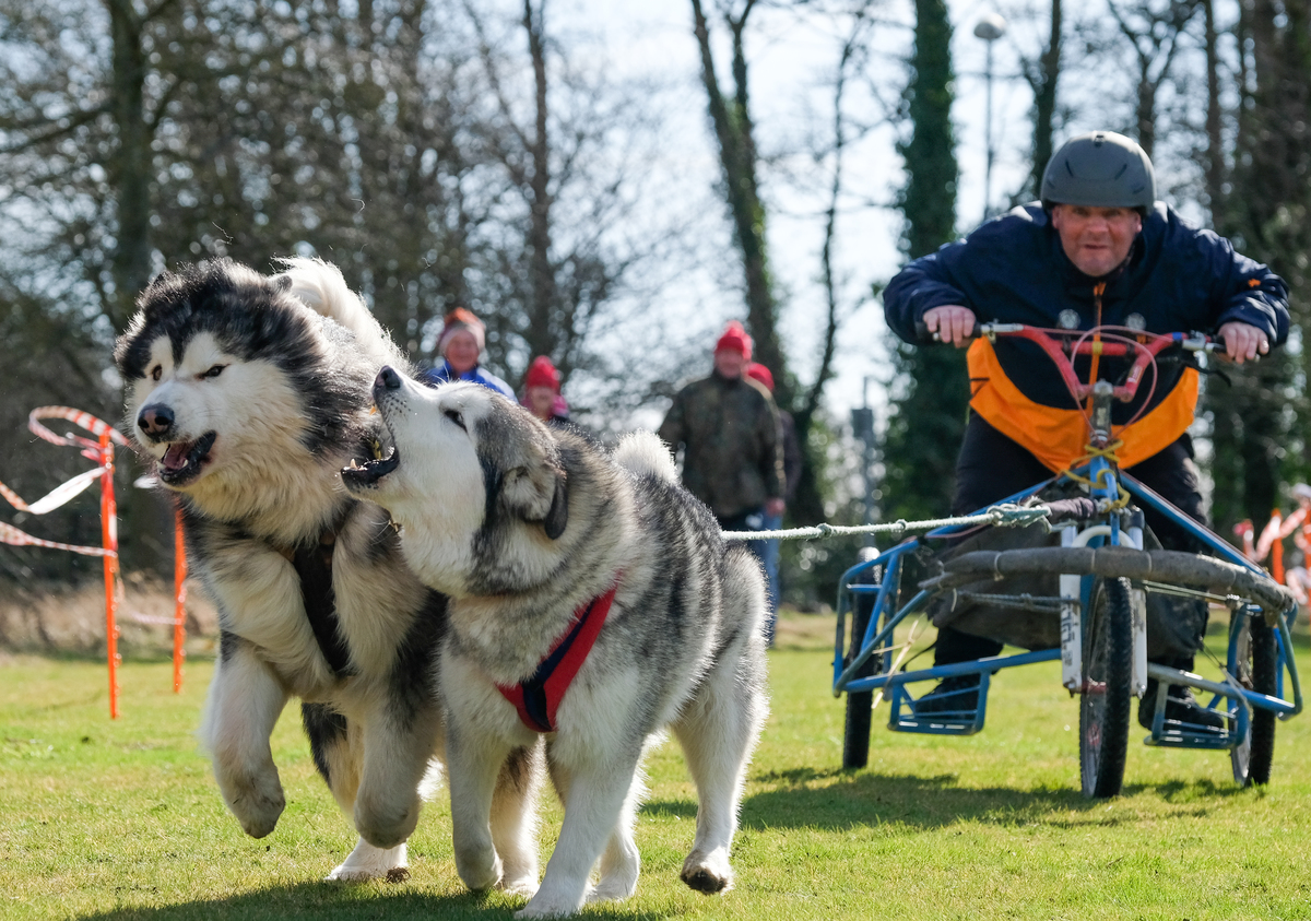 A man races on a sled driven by Alaskan malamutes.