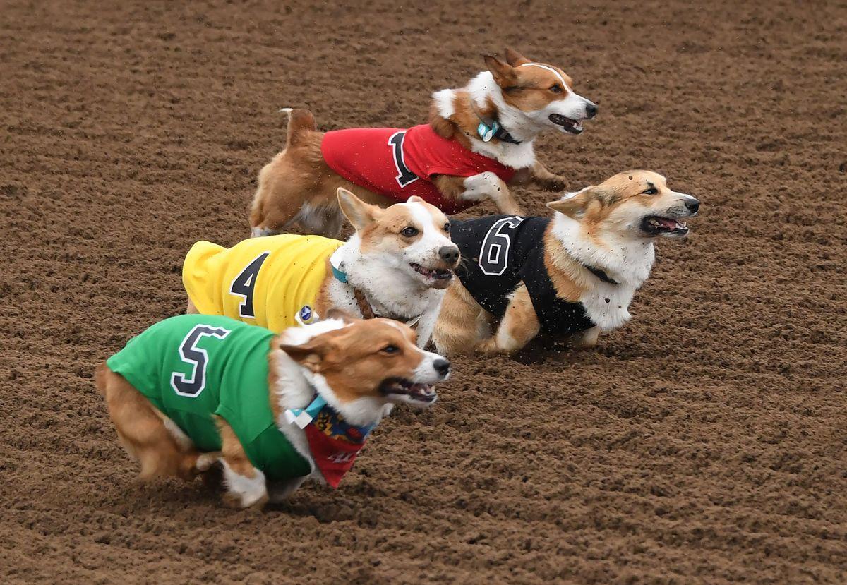 Corgis race.