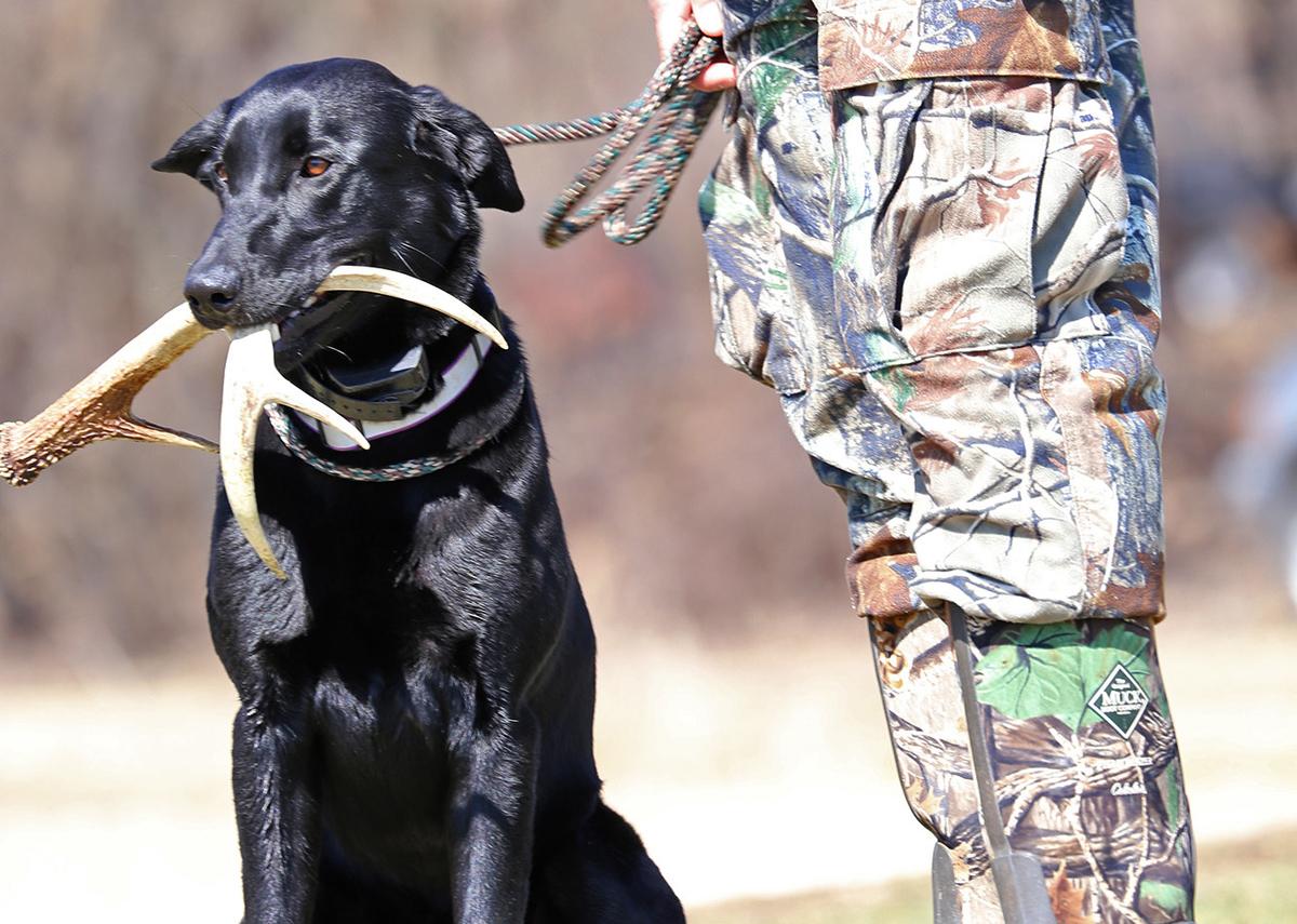A black labrador retriever holds an antler next to a hunter.