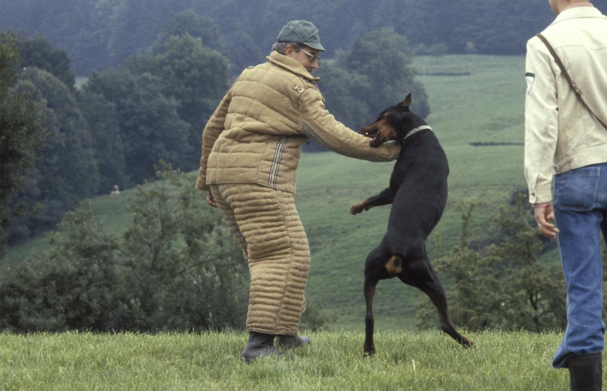 A doberman bites at a man's arm during training.