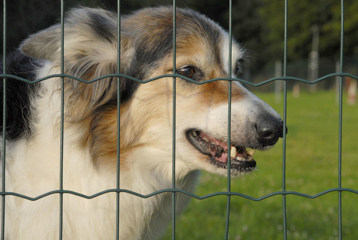 A female Border Collie snarls through the fence to defend her territory.