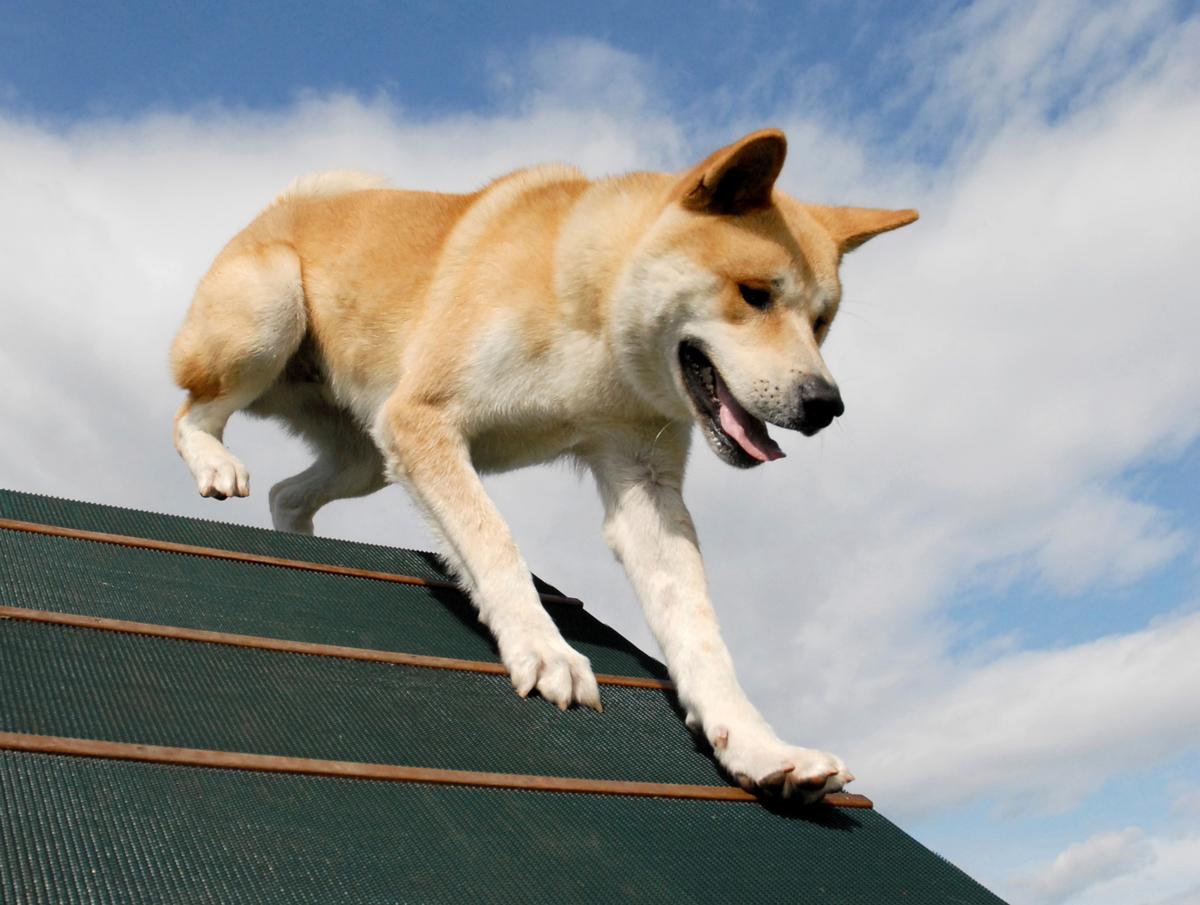 An akita runs across a green slanted roof.