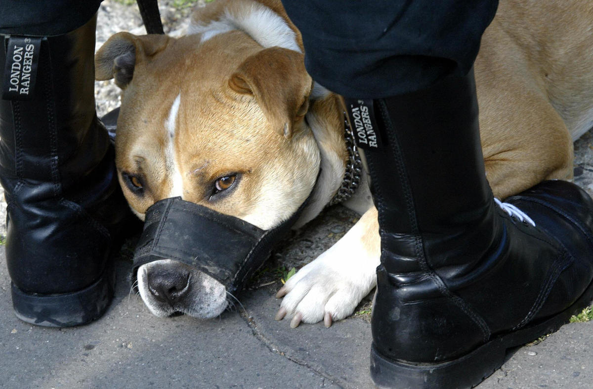 A pit bull with a muzzle lays between its owner's legs.