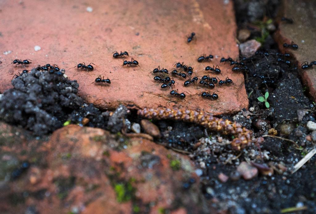 Black ants