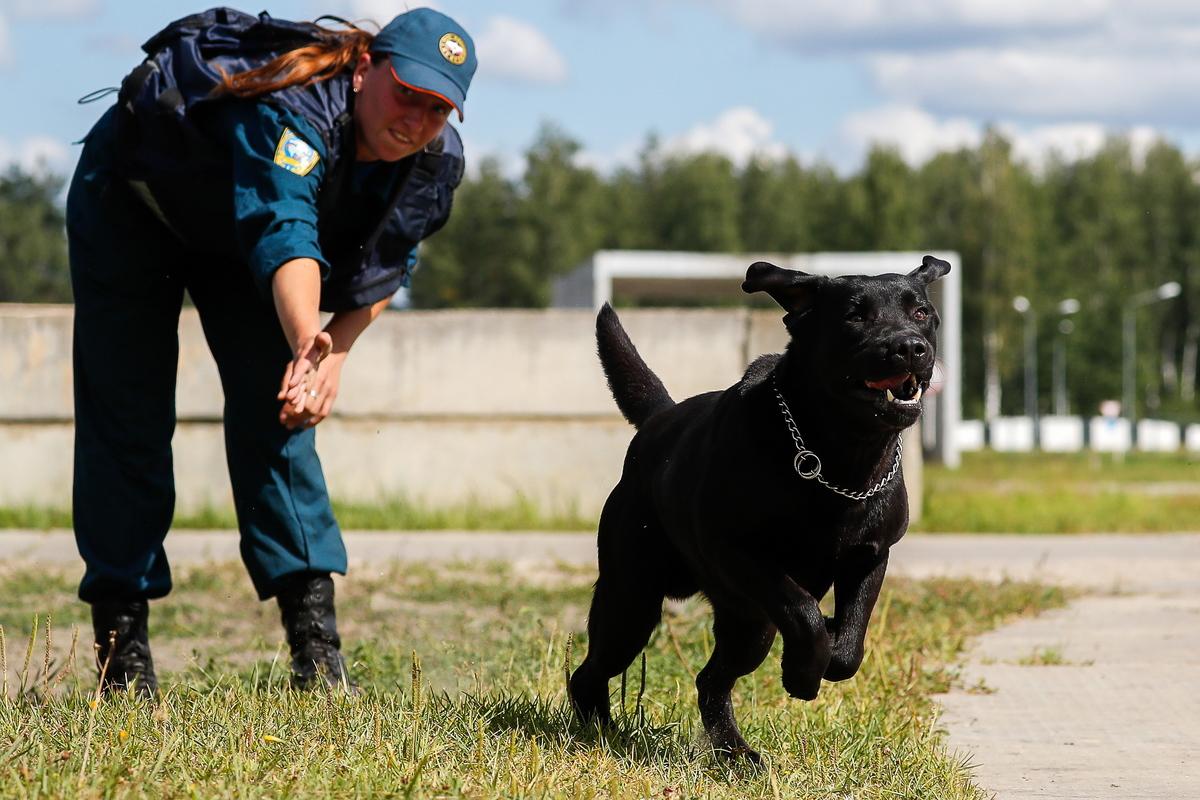 A handler trains a black Labrador for the role of rescue dog.