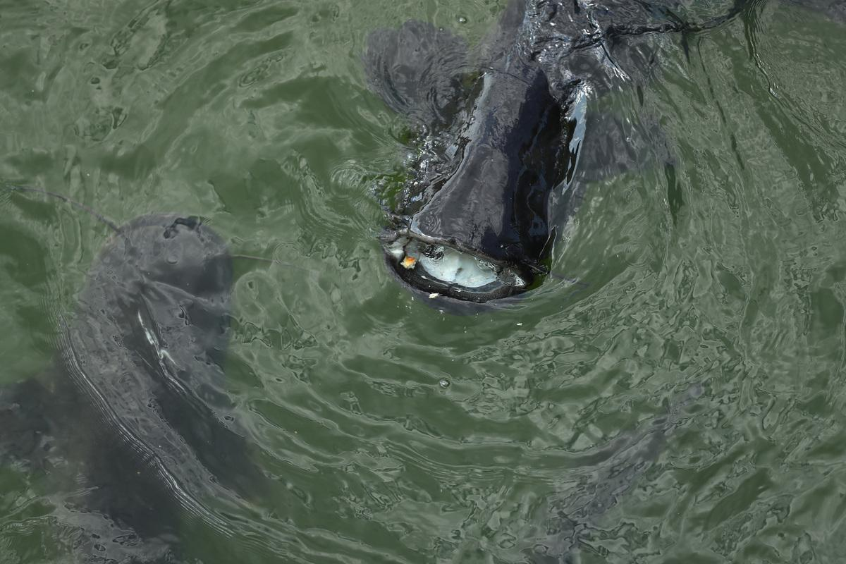 catfish chernobyl