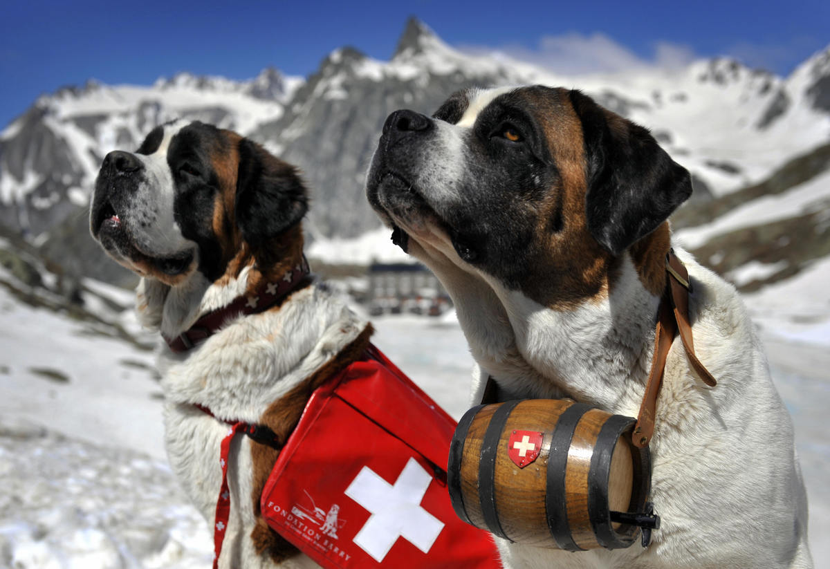 Two Saint Bernard rescue dogs sit in the snowy mountains.