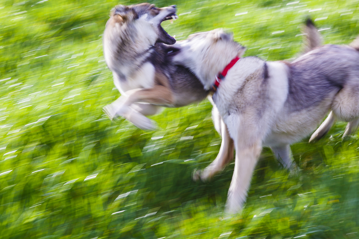 Two wolfdogs bit at each other while running across grass.