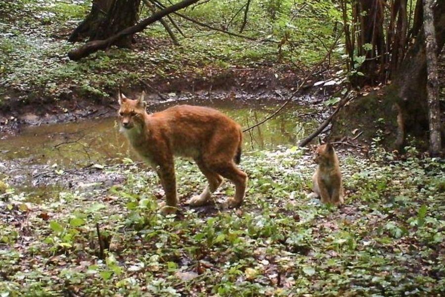 lynx chernobyl