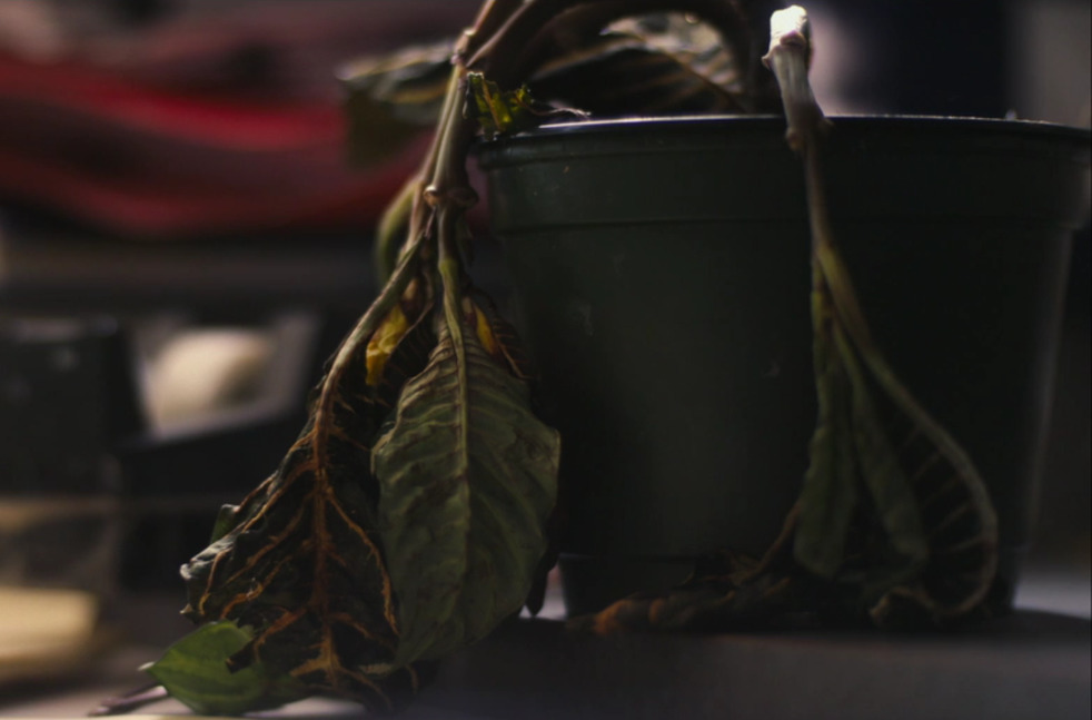 A wilted potted plant is seen.