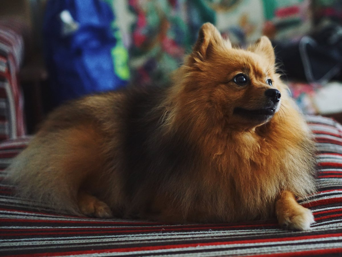 A German Spitz rests on a bed.