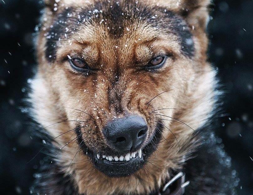 A German Shepherd growls in the snow.