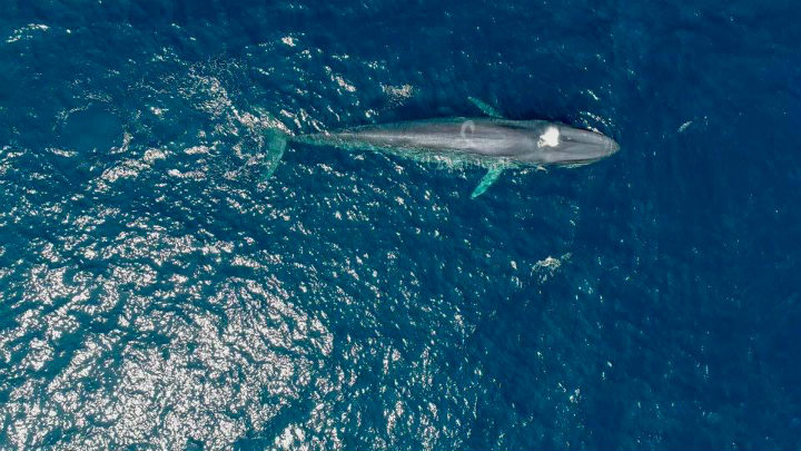 omura whale swimming alone