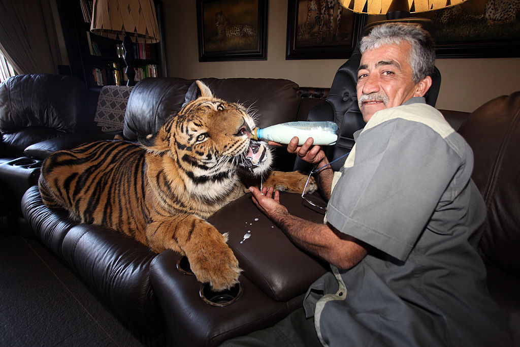 man-bottle-feeding-large-tiger