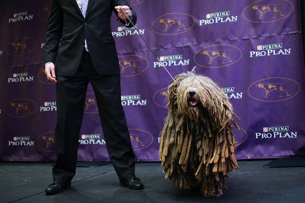 A Bergamasco Sheepdog stands next to its owner at a dog show.