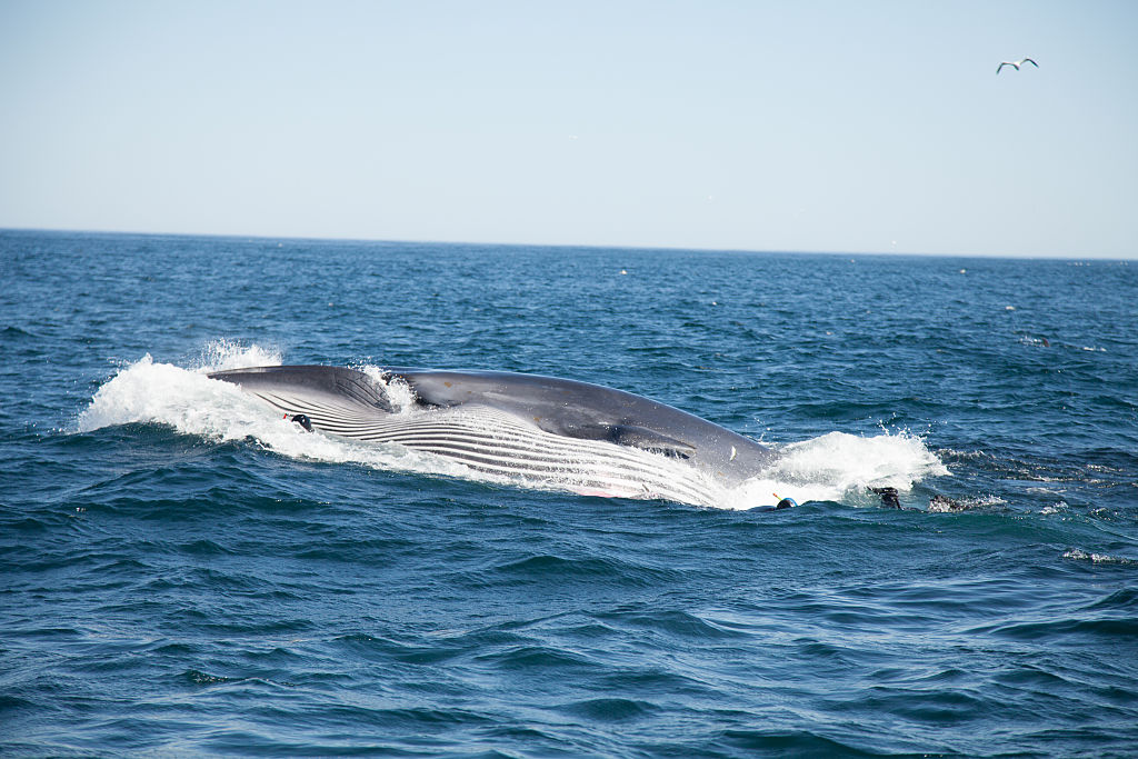 bryde's whale in the ocean
