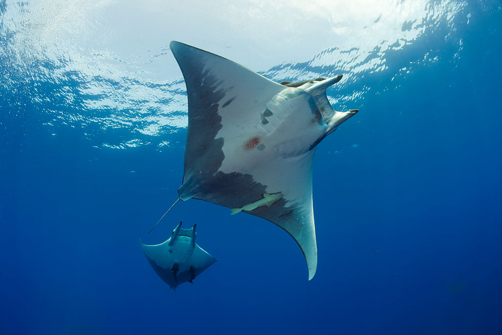 There Are Superstitions Surrounding Manta Rays
