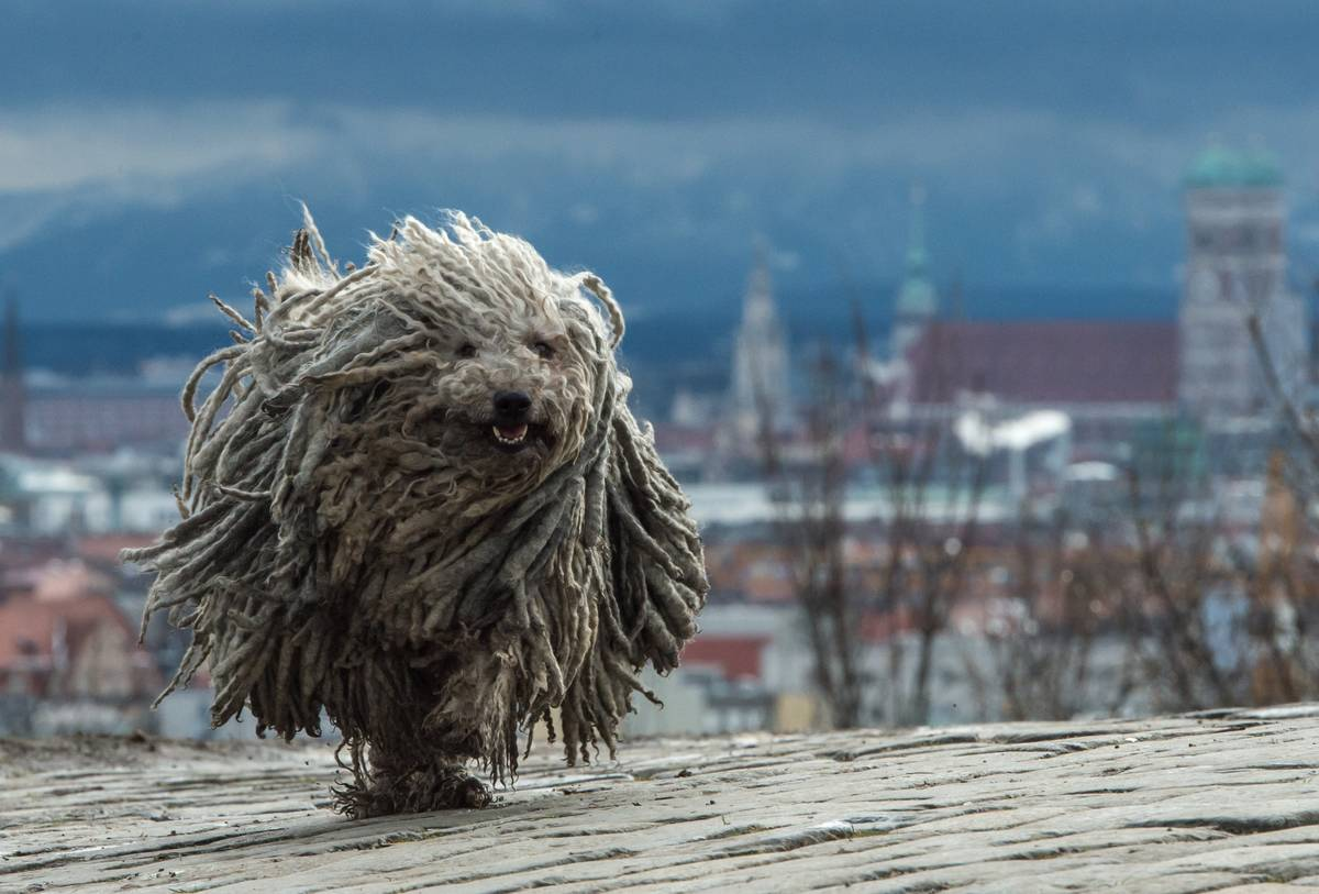Puli's Are Known As The Acrobats Of The Dog World