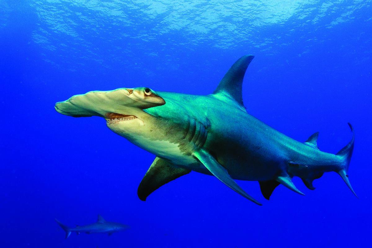 GettyImages-108aGreat Hammerhead Shark813081