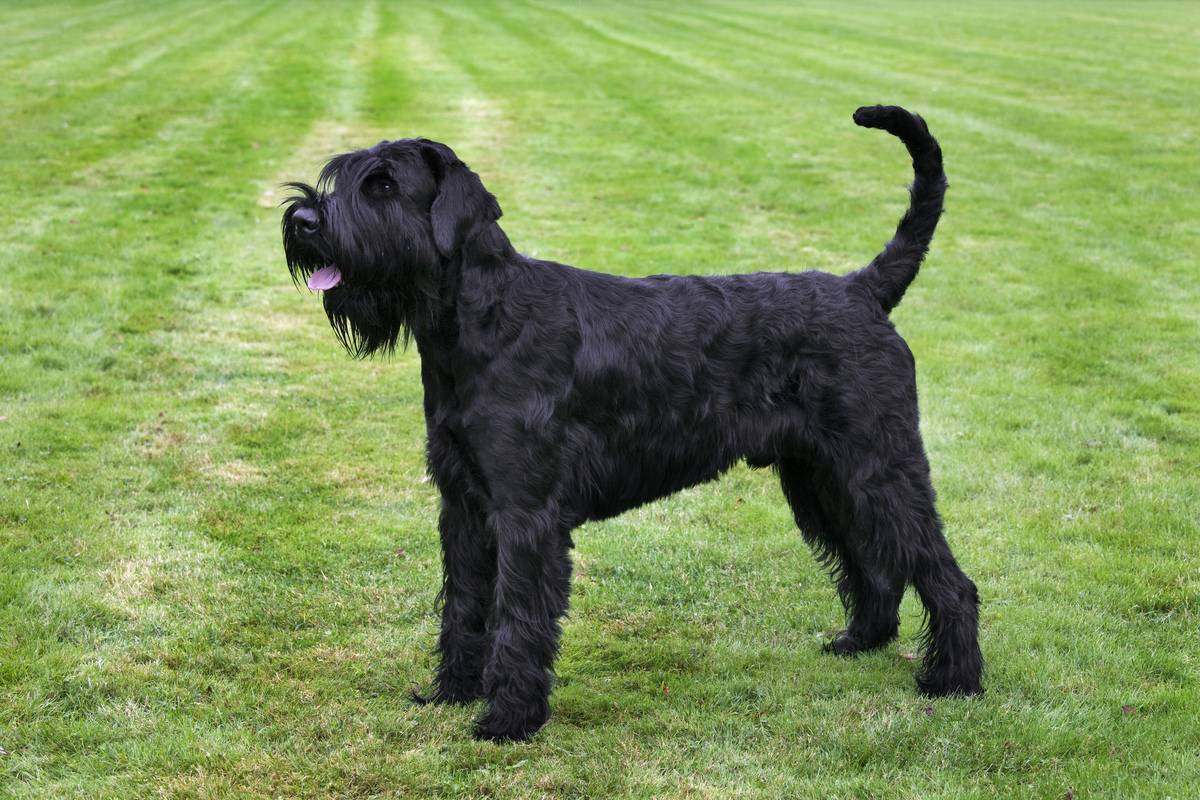 Giant Schnauzer Is Valiant And Bold