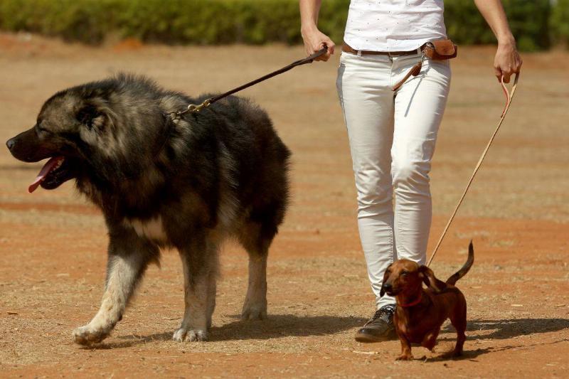 Caucasian Shepherd Dogs Are Bold